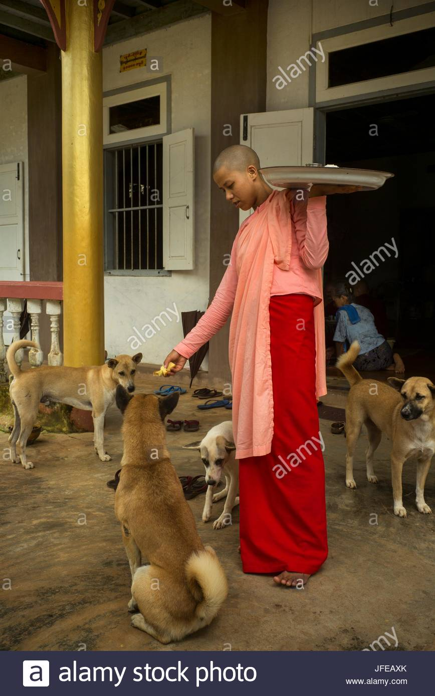A nun fees a group of dogs at Thein Pa Taung Meditation Center. - Stock Image