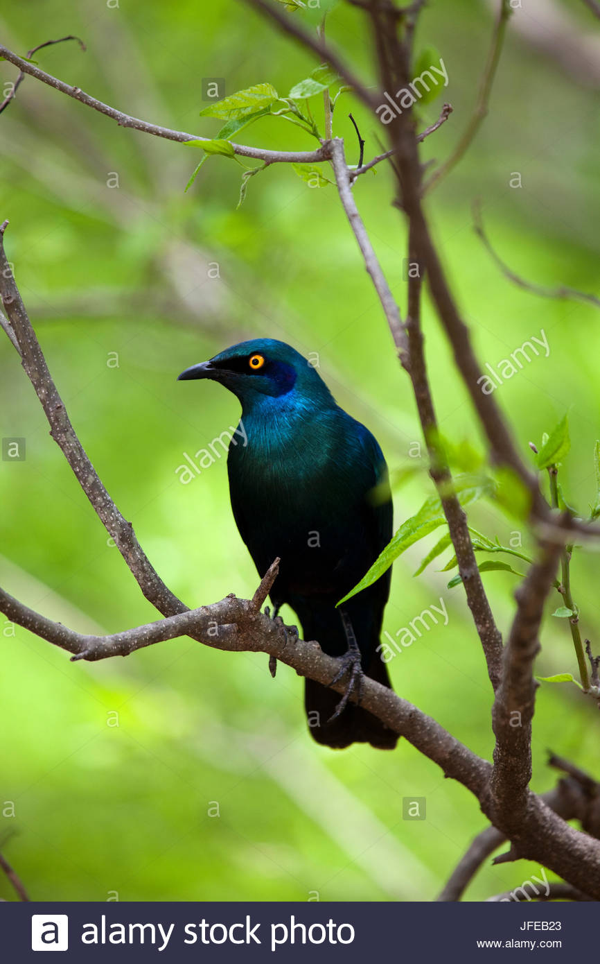 Cape glossy starling, Lamprotornis nitens, perched on a branch. - Stock Image