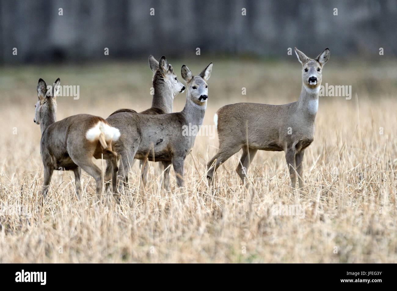 Rehe Stock Photo