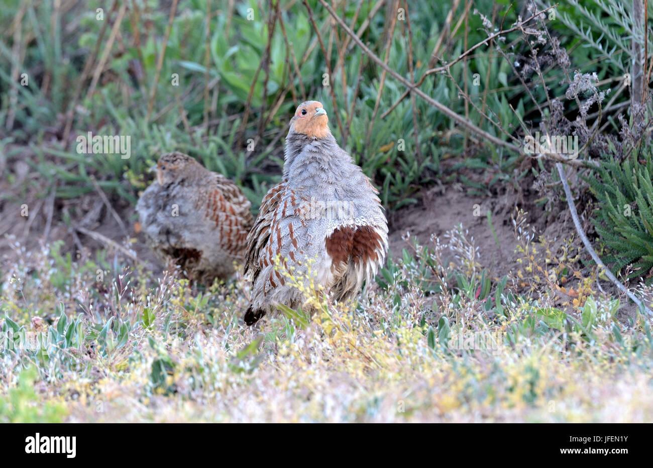 Partridges - Stock Image