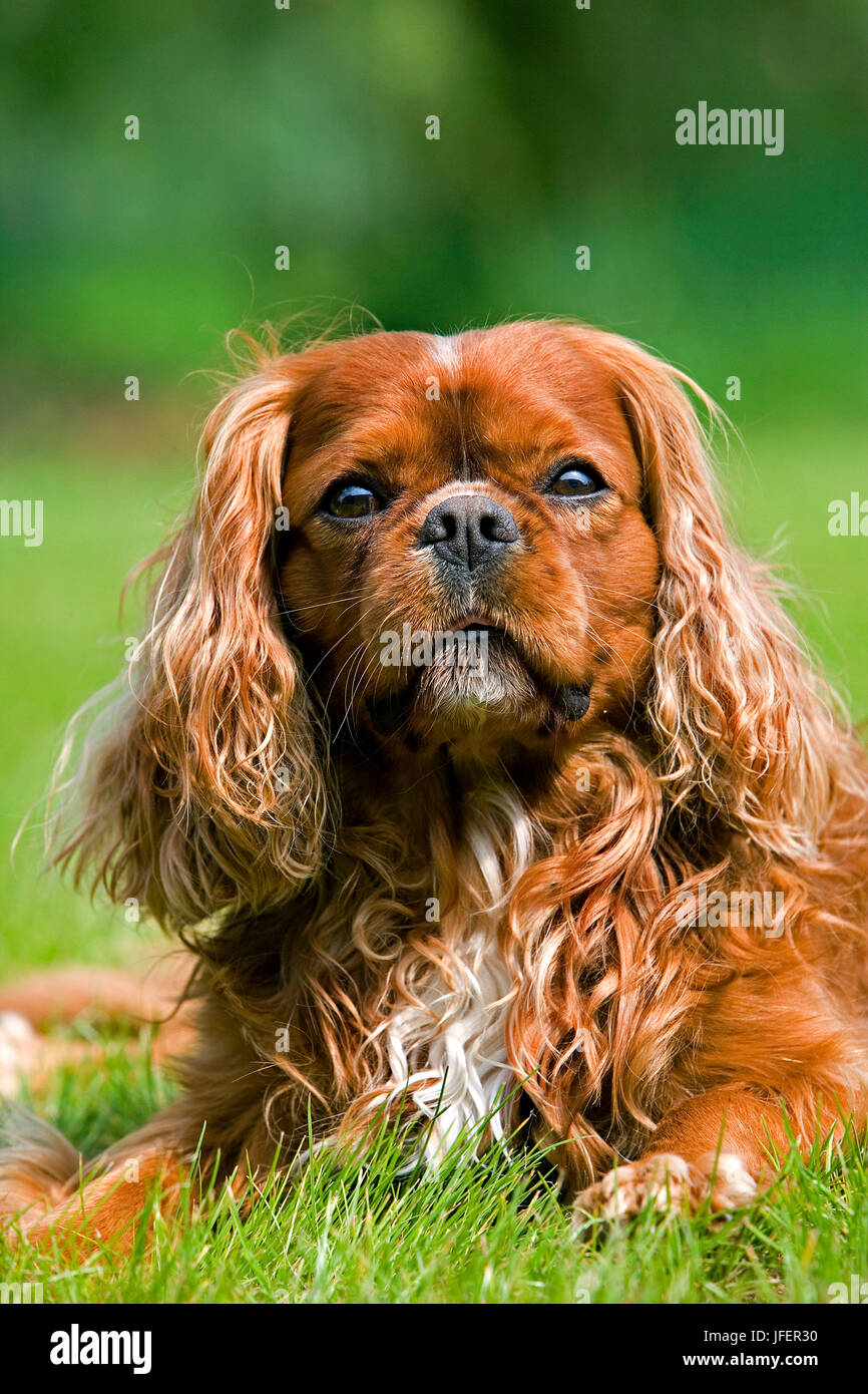 Cavalier King Charles Spaniel, Male Dog - Stock Image