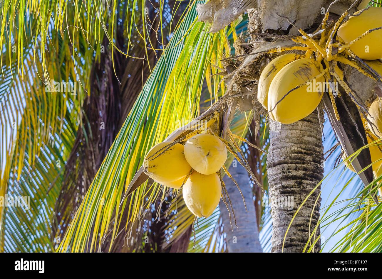 Coconut palm tree at the mambo beach - Stock Image