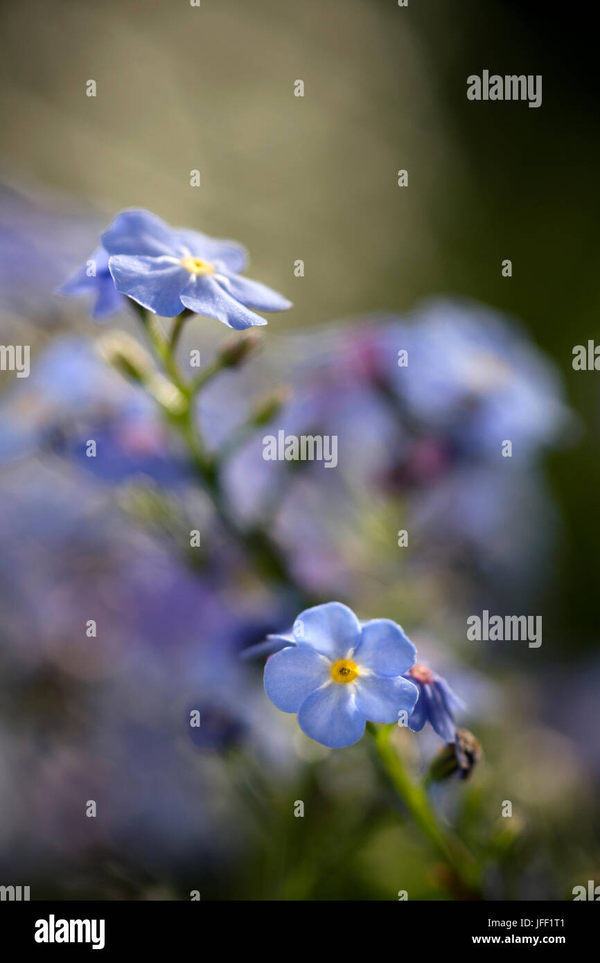 Blue Forget-me-not flowers - Stock Image