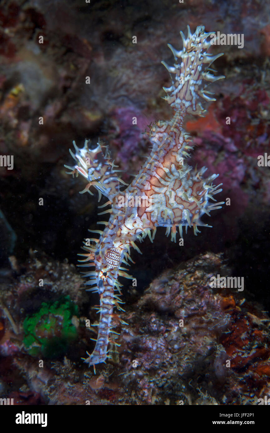 White and red ornate ghost pipefish (Solenostomus paradoxus) with coral reef background. Lembeh Straits, Indonesia. Stock Photo
