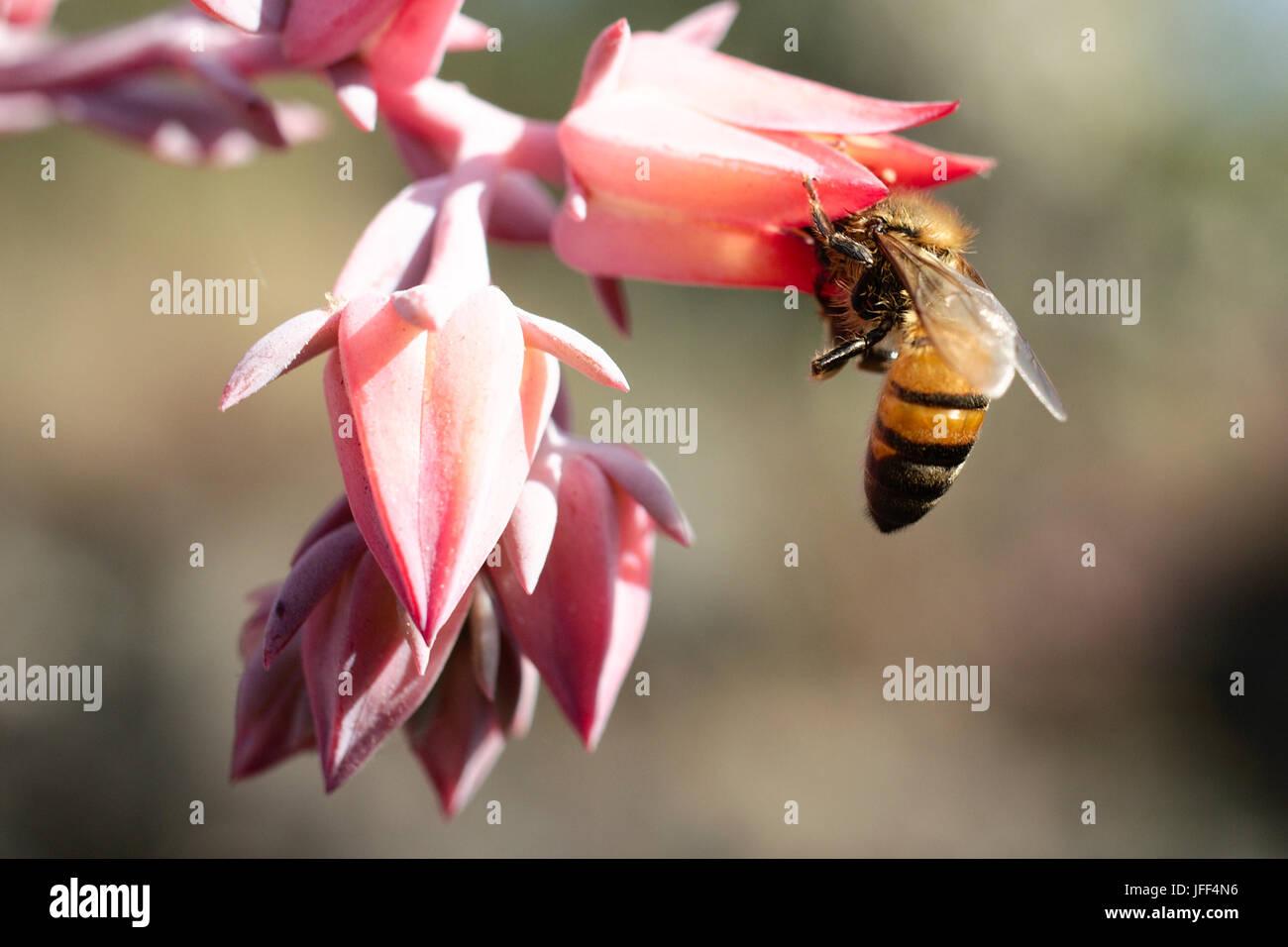 Honeybee on pink flower (macro) - Stock Image