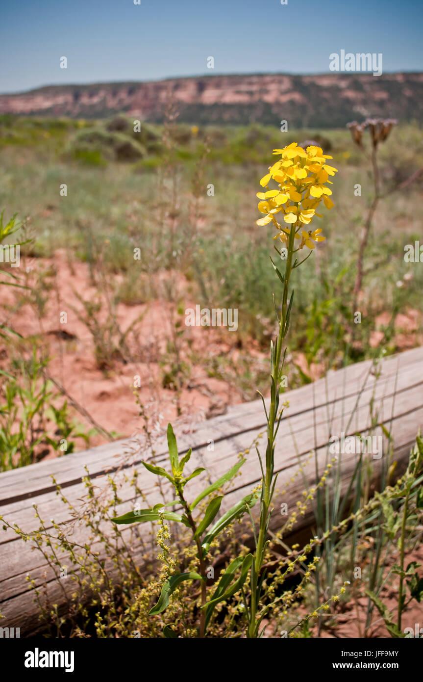 Yellow Desert Flowers In New Mexico Stock Photo 147239707 Alamy