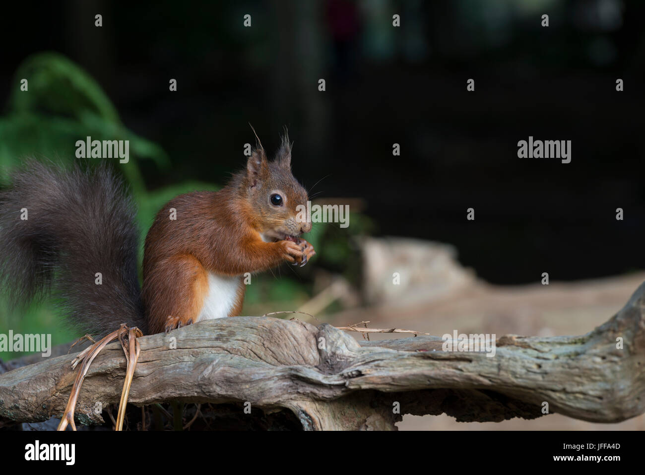 Red Squirrel on Log - Stock Image