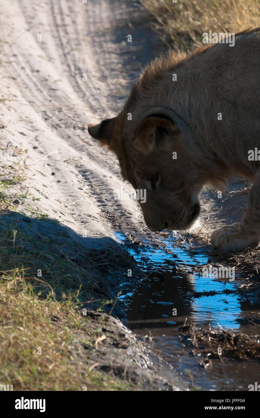 Lioness in Botswana - Stock Image