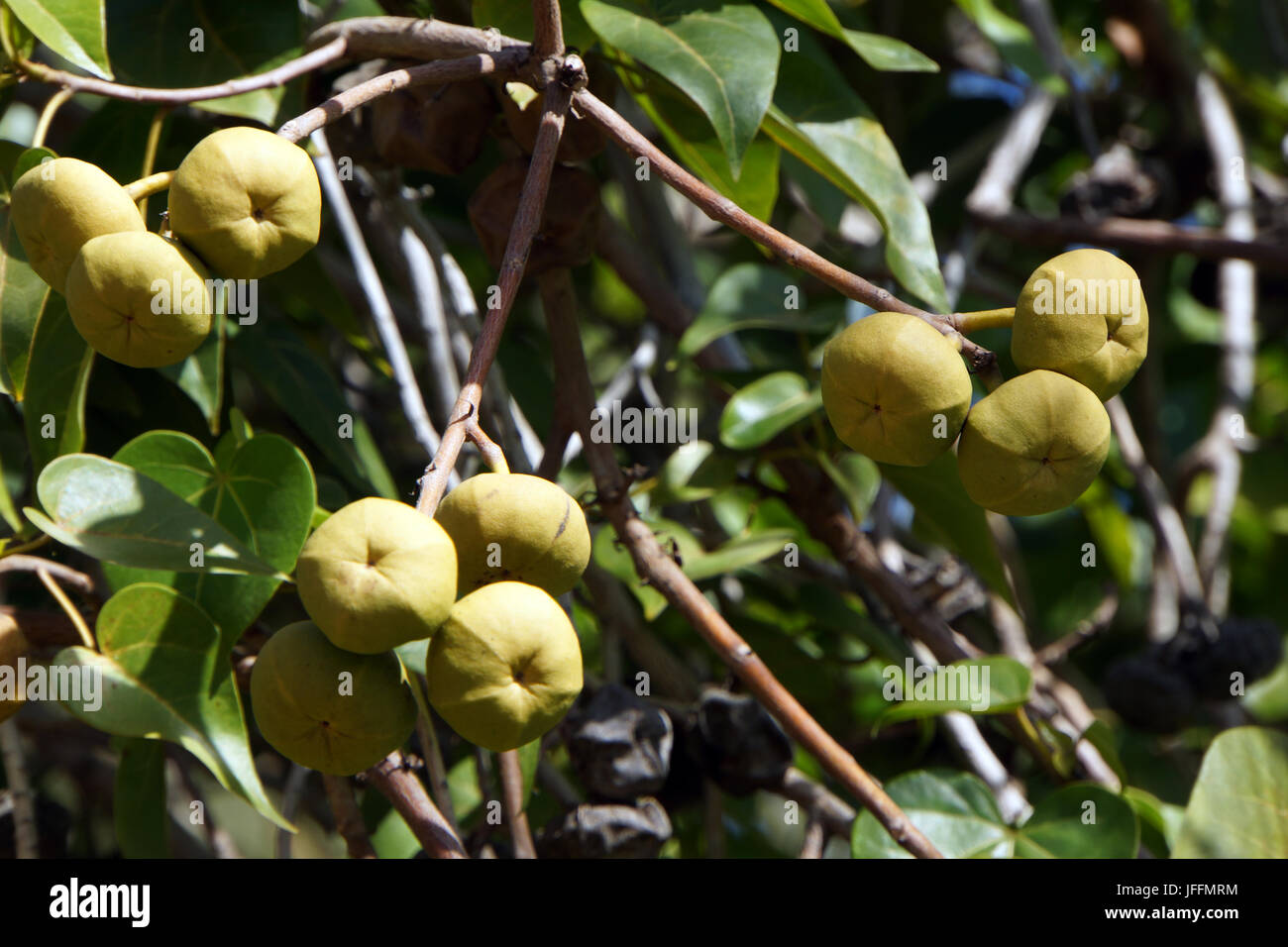 Rosewood Tree Stock Photos Rosewood Tree Stock Images Alamy