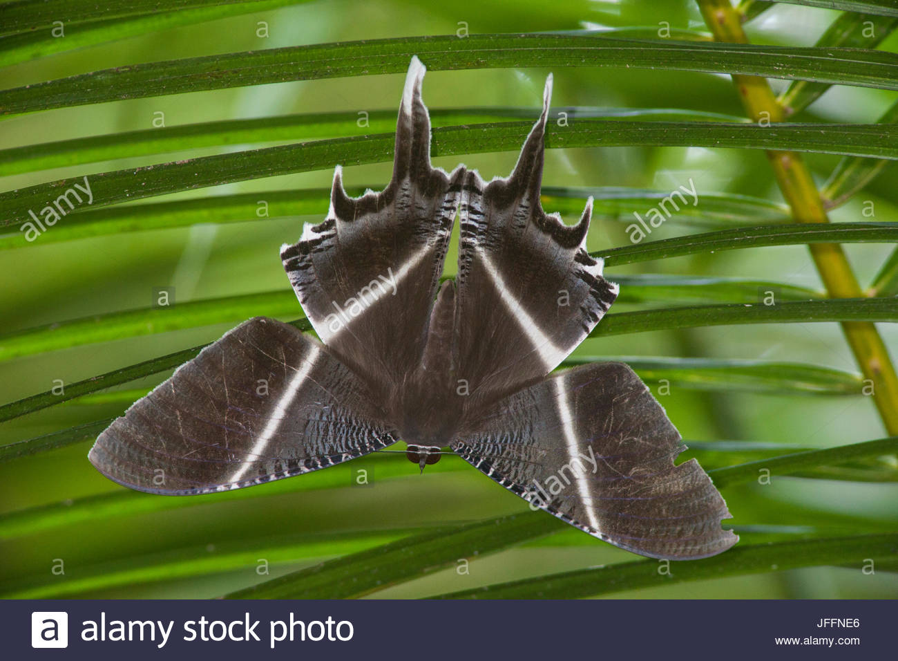 Portrait of a tropical swallowtail moth, Lyssa zampa, on a palm frond. - Stock Image