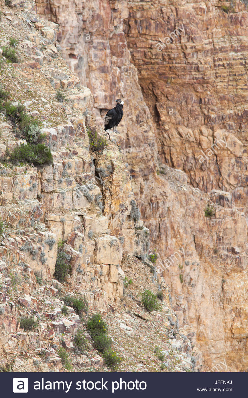An Andean condor, Vultur gryphus, a near threatened species, perched on a rock face. - Stock Image