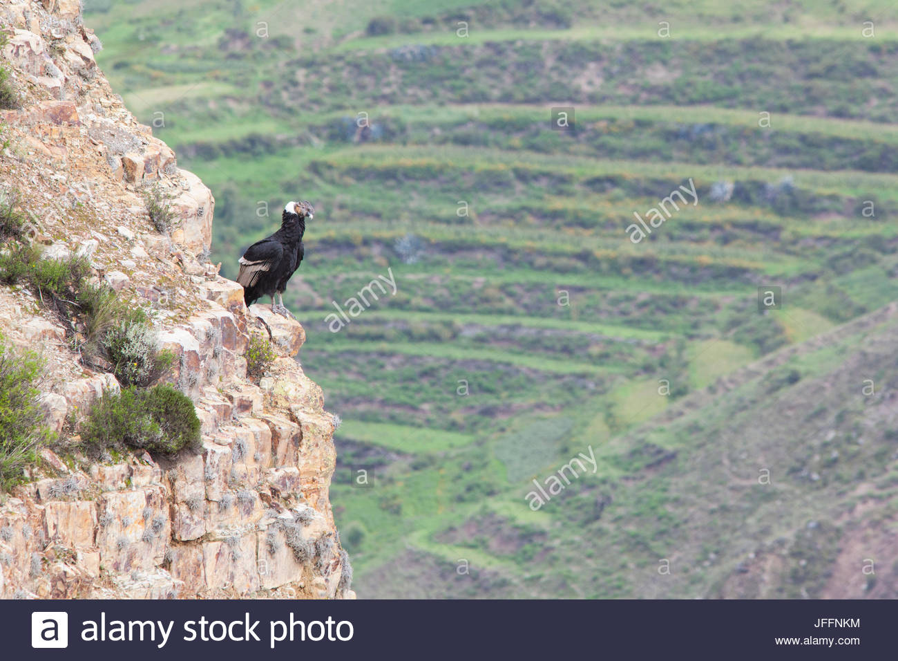 An Andean condor, Vultur gryphus, a near threatened species, perched on a rock face overlooking farmland. - Stock Image