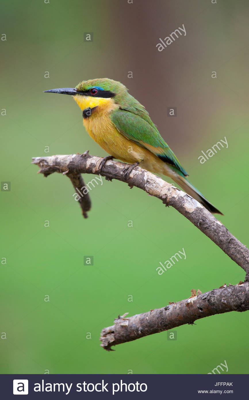 A little bee-eater, Merops pusillus, perches on a stick. - Stock Image