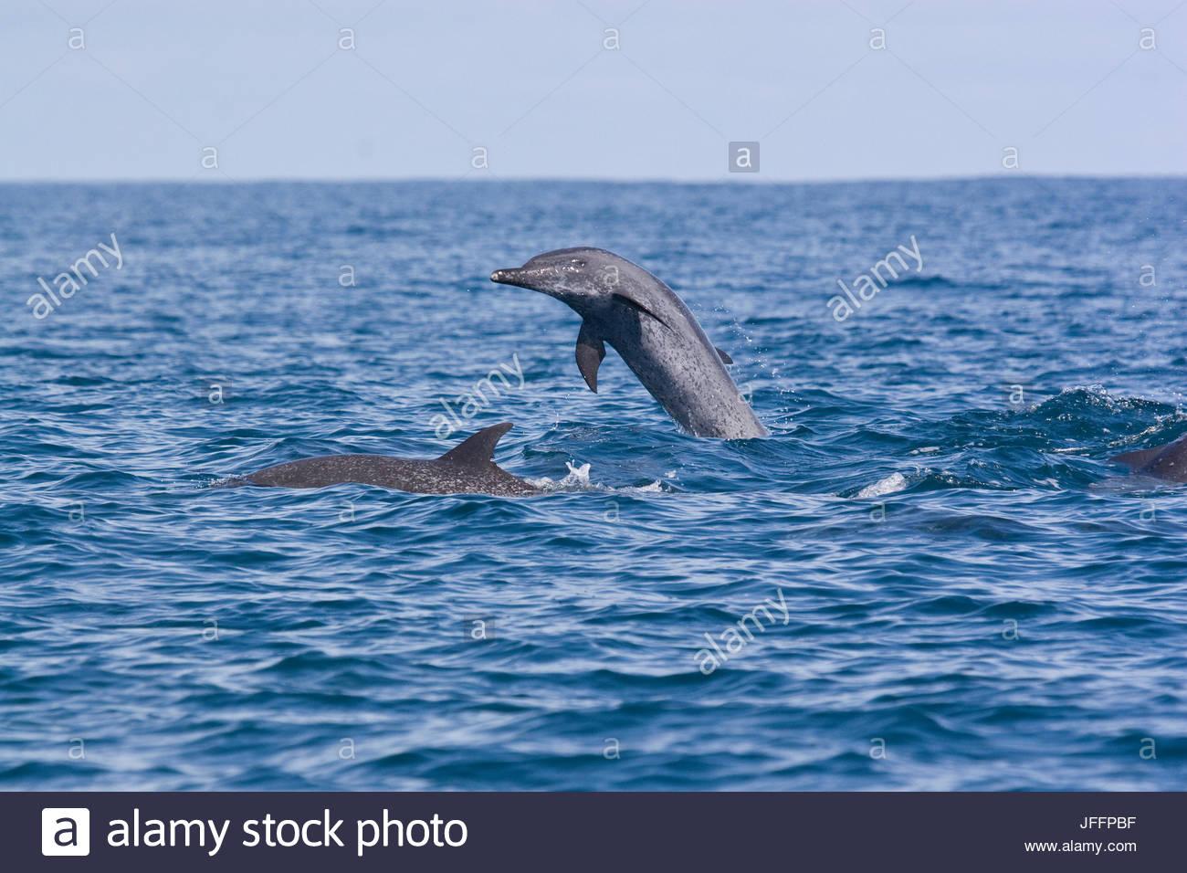 Pacific spotted dolphins, Stenella attenuata, swim off the coast of Costa Rica in the Pacific Ocean. - Stock Image