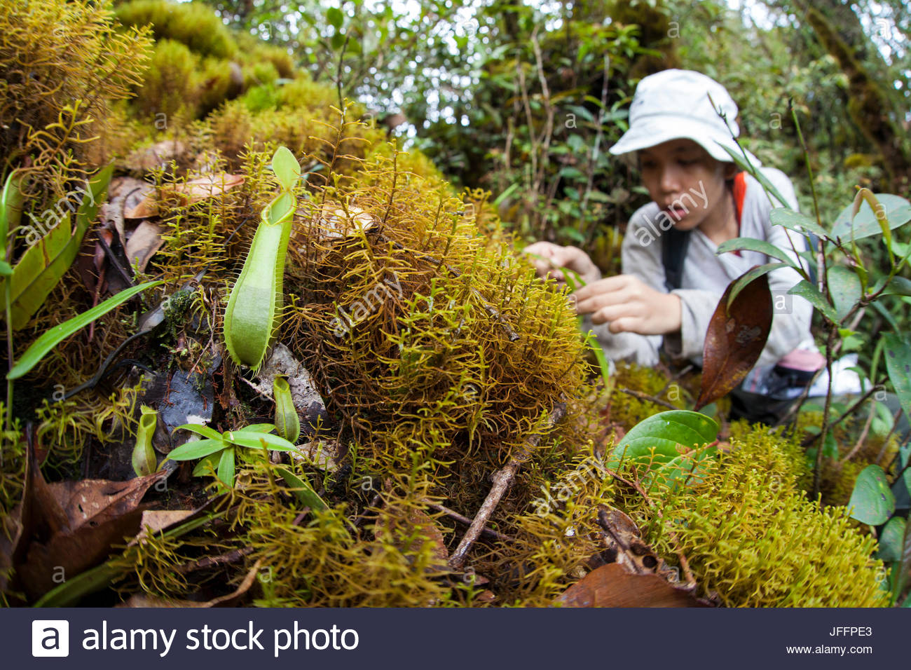 A young female Indonesian scientist takes a GPS point for a pitcher plant in the rainforests of Borneo. - Stock Image