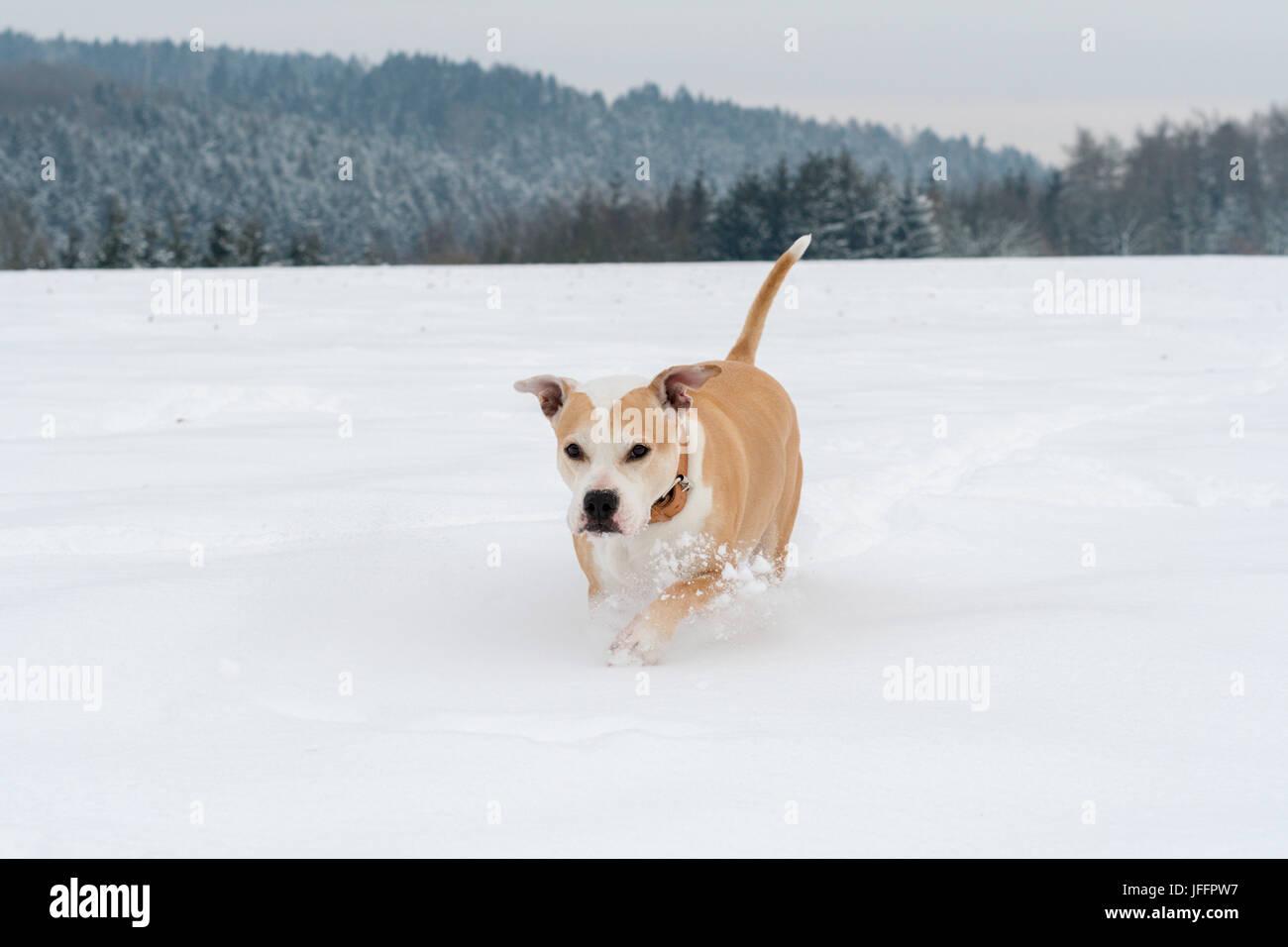 Running staffordshire bull terrier - Stock Image