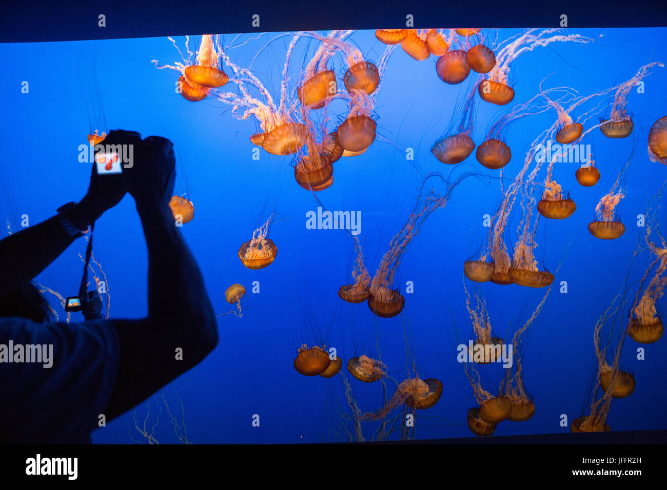 Visitors at the Monterey Bay Aquarium photograph a tank of sea nettle jellyfish. - Stock Image