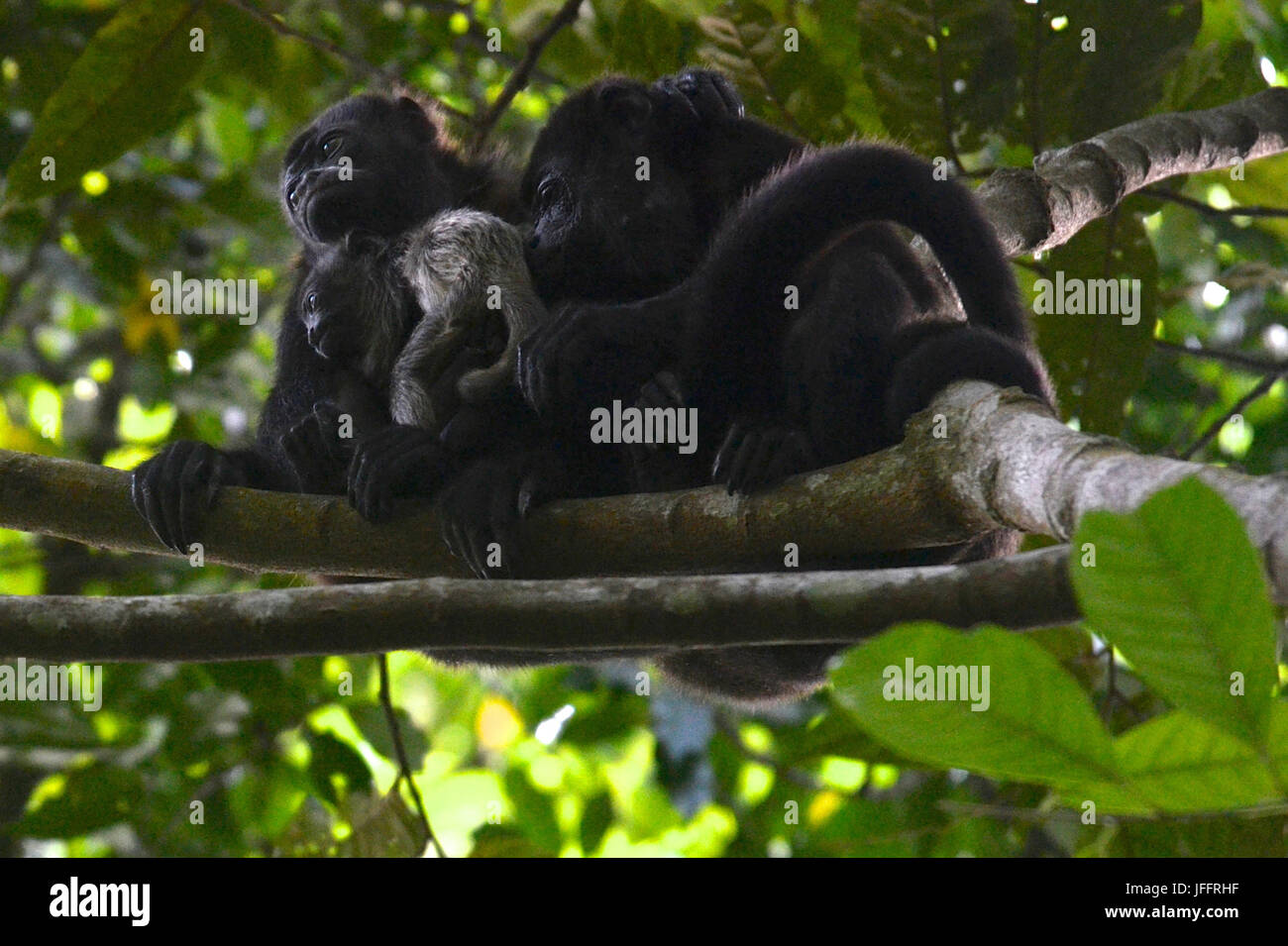A family of howler monkeys, Alouatta palliata, on Barro Colorado Island. - Stock Image