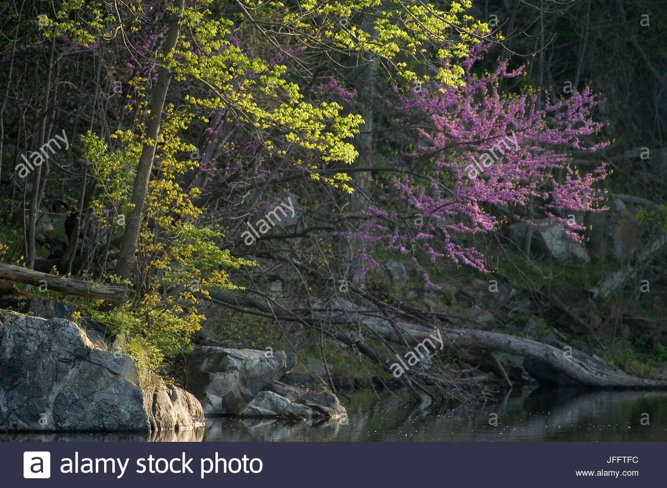 Flowering Trees In Spring Along The Chesapeake And Ohio Canal Stock