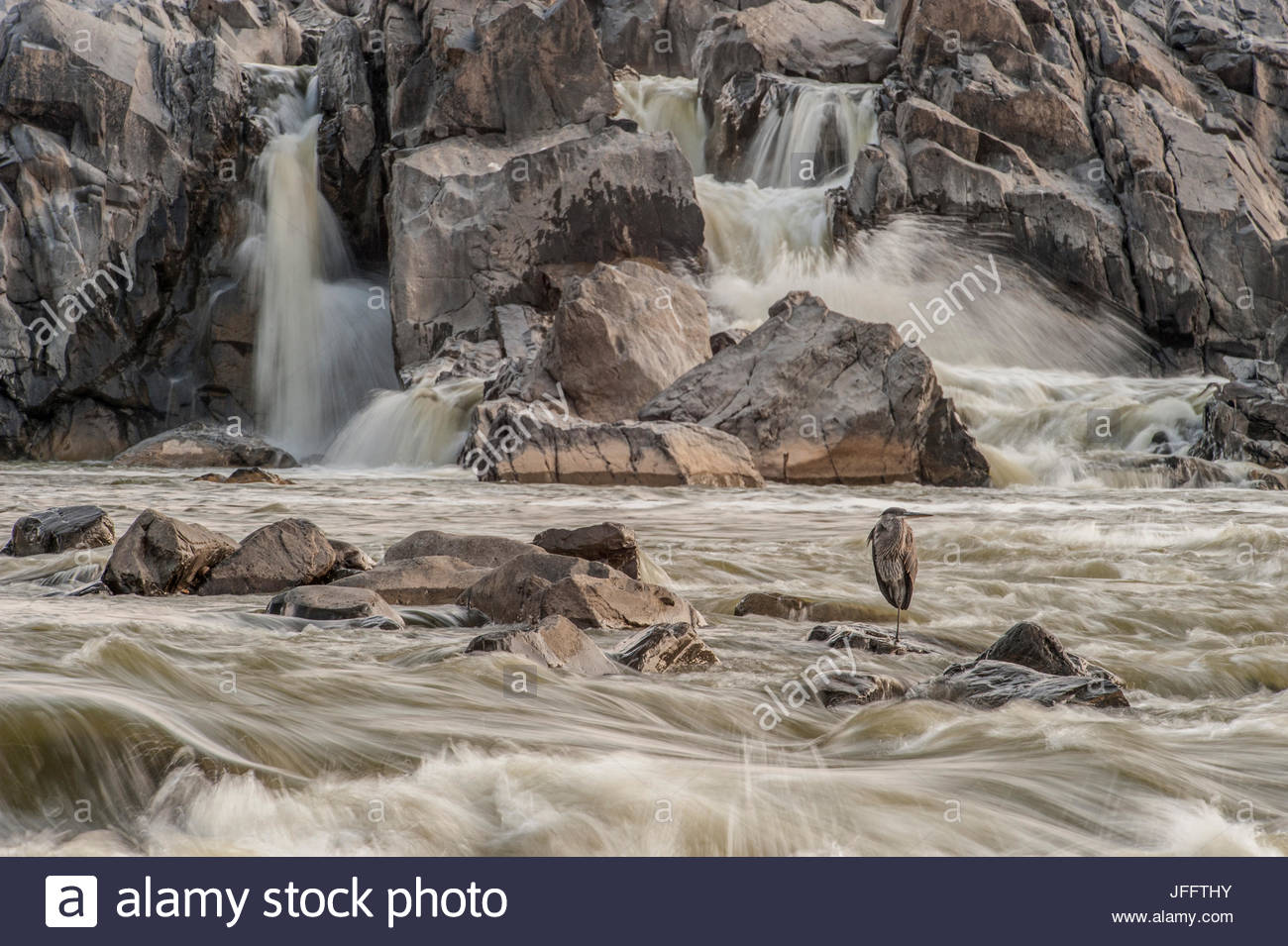 A great blue heron, Ardea herodias, on a rock in the swift moving waters of Great Falls. - Stock Image