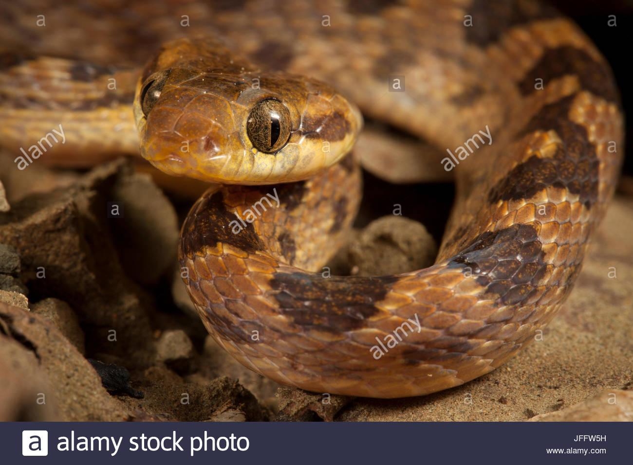Close up portrait of a northern cat-eyed snake, Leptodeira septentrionalis. - Stock Image