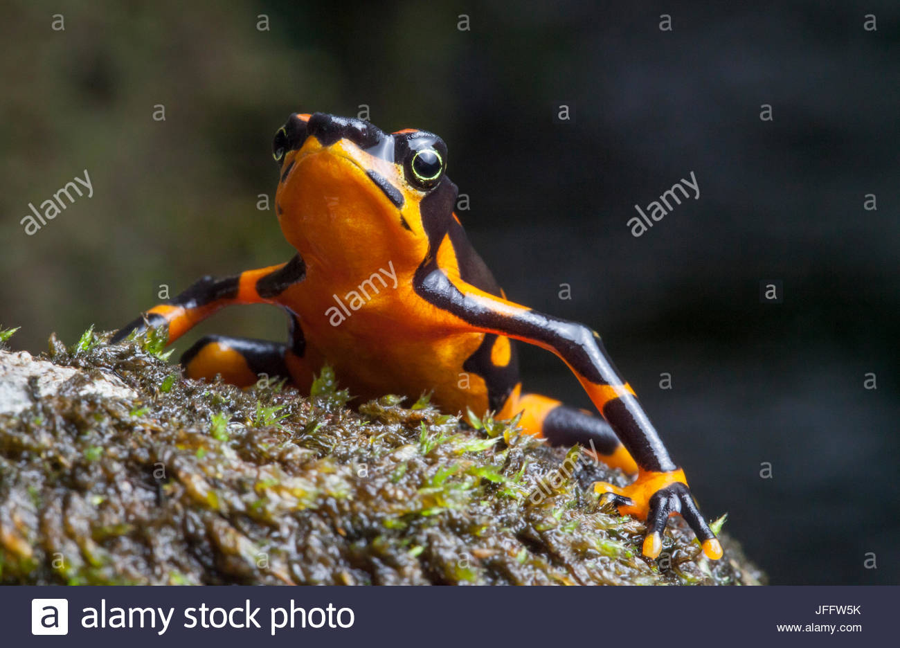 Portrait of a variable harlequin frog, Atelopus varius, a critically endangered species. - Stock Image