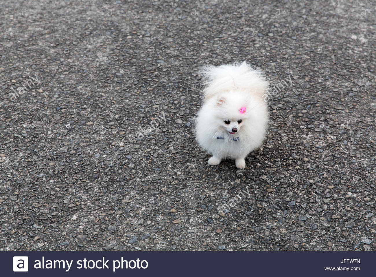 Portrait of a small, white, pet dog in a park. - Stock Image