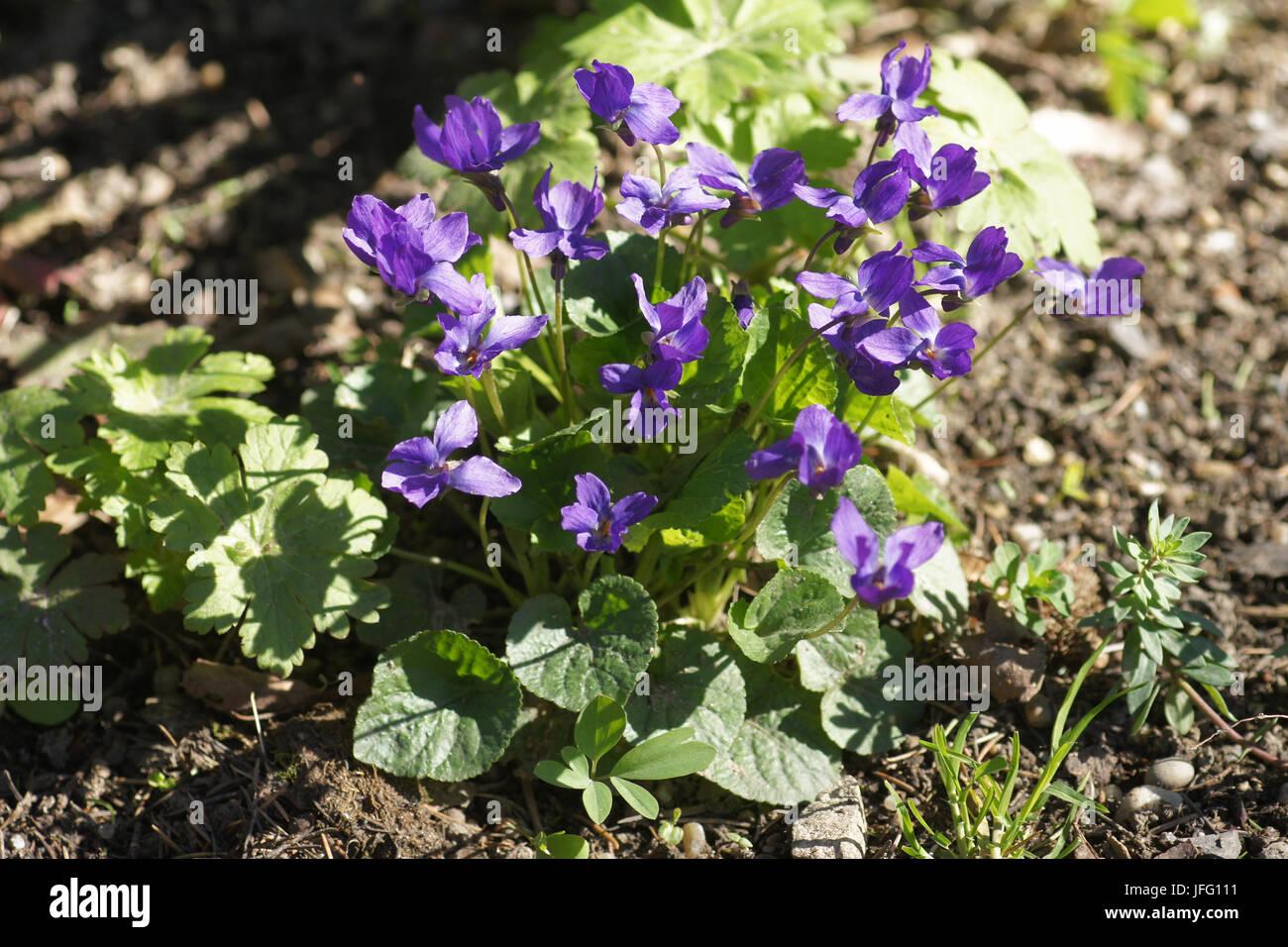 Viola odorata, Sweet Violet - Stock Image