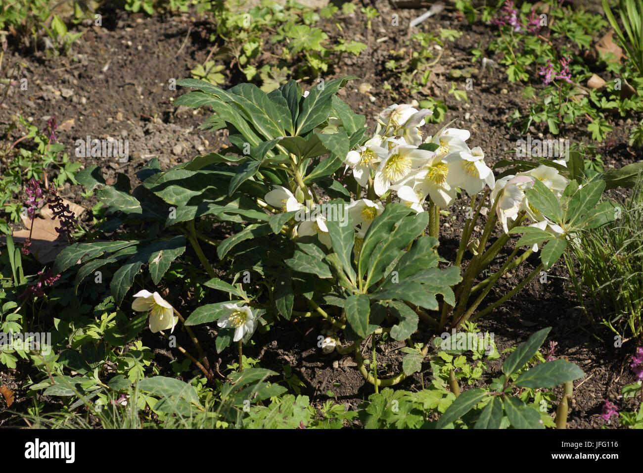 Helleborus niger, Hellebore - Stock Image