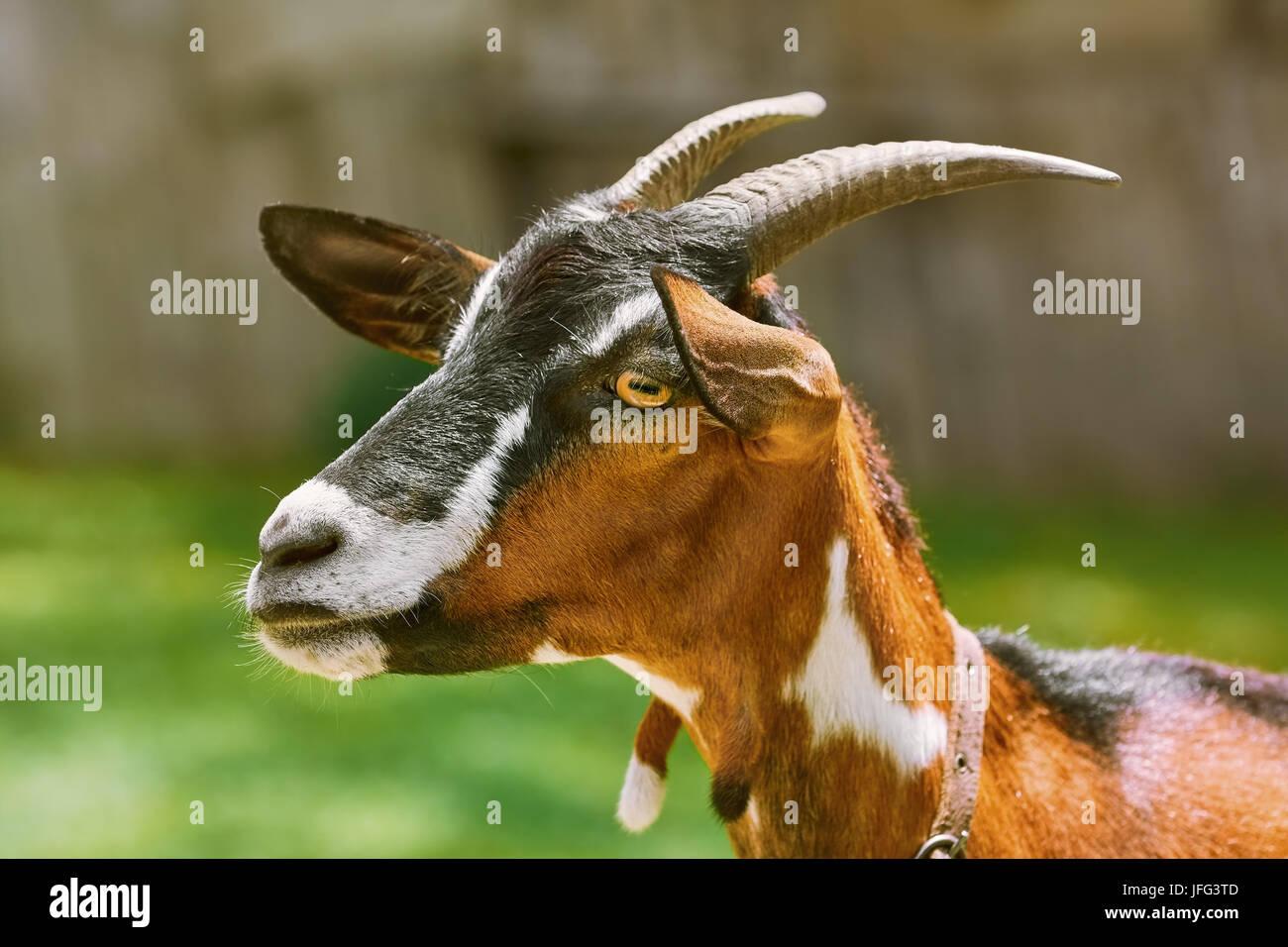 Portrait of Nanny Goat - Stock Image