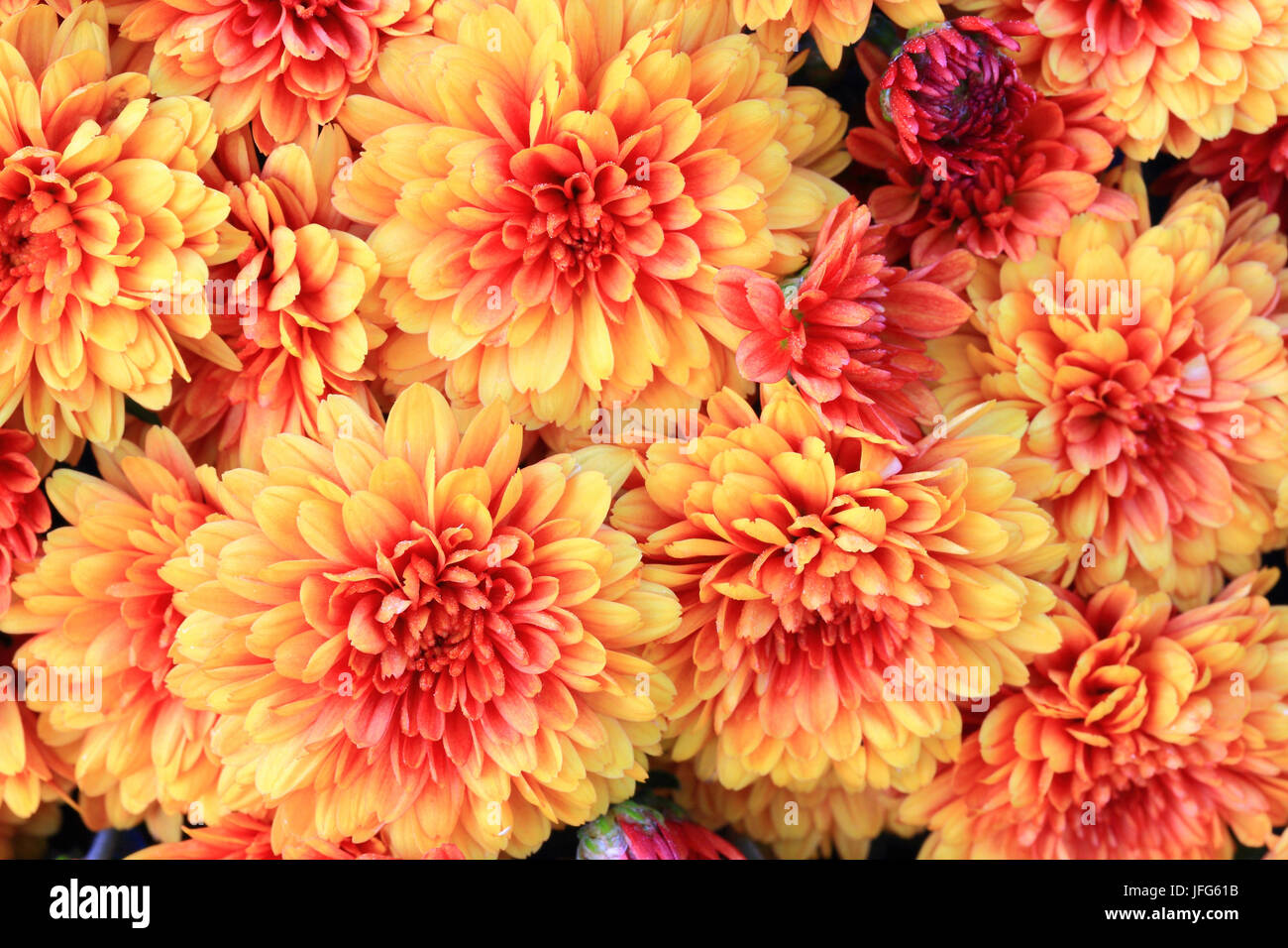 Blooms of Colorful Fall (Autumn) Mums - Stock Image