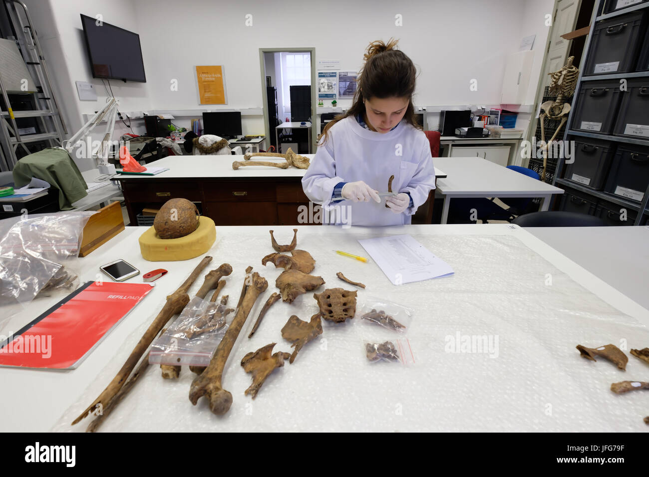 Forensic anthropologist working on an ancient skeleton - Stock Image