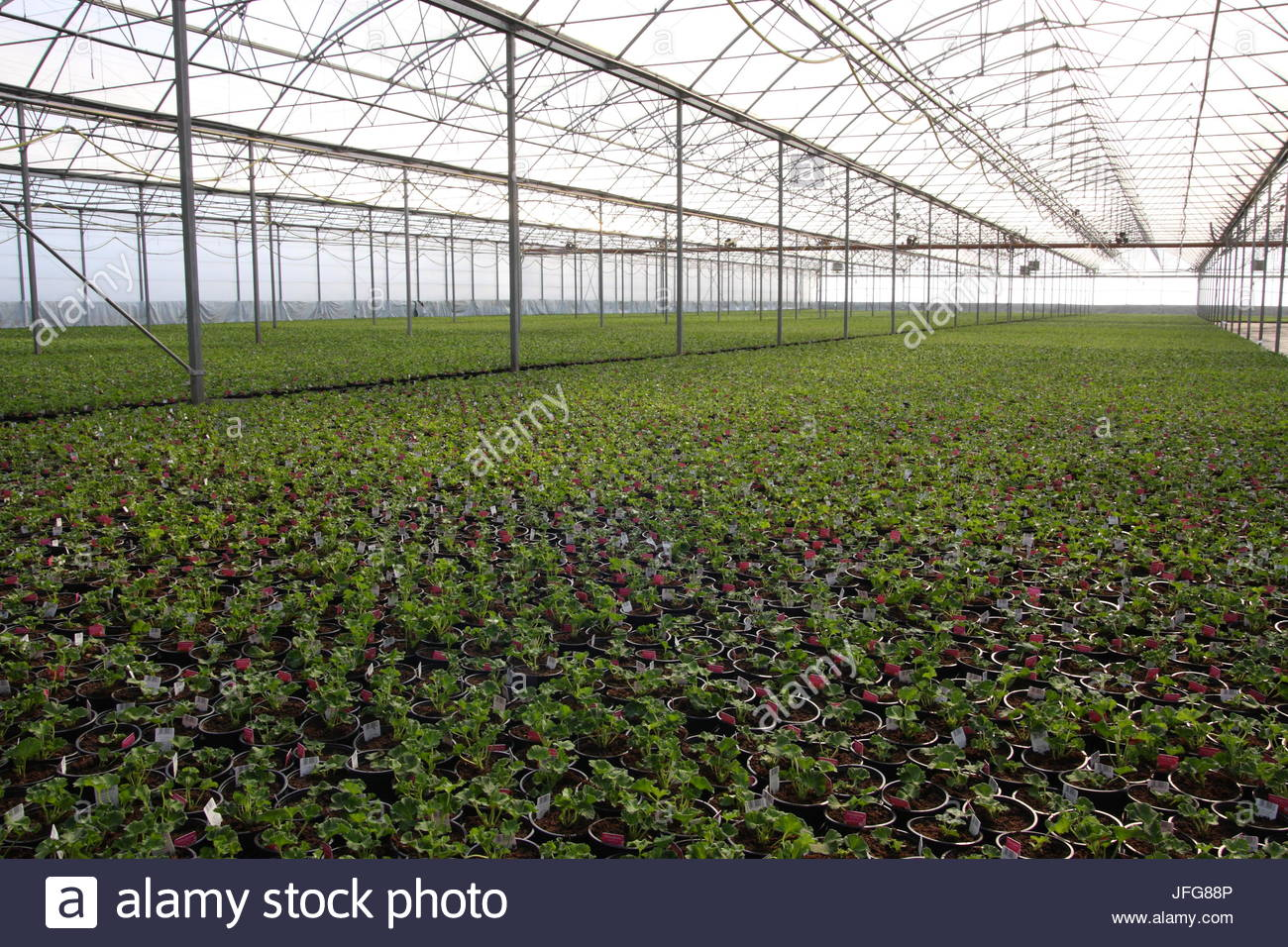 Young pelargoniums in the glashaus - Stock Image