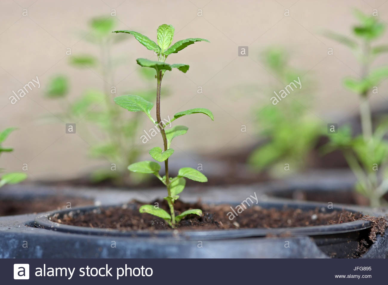 Young peppermint plant in pot - Stock Image