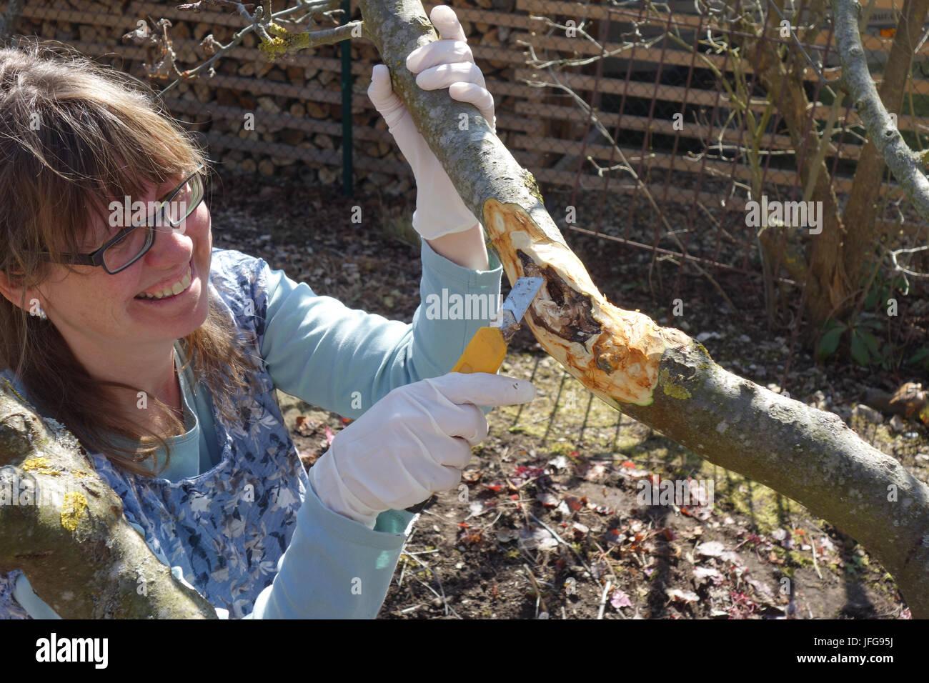 Fruit tree cancer, cut sore - Stock Image