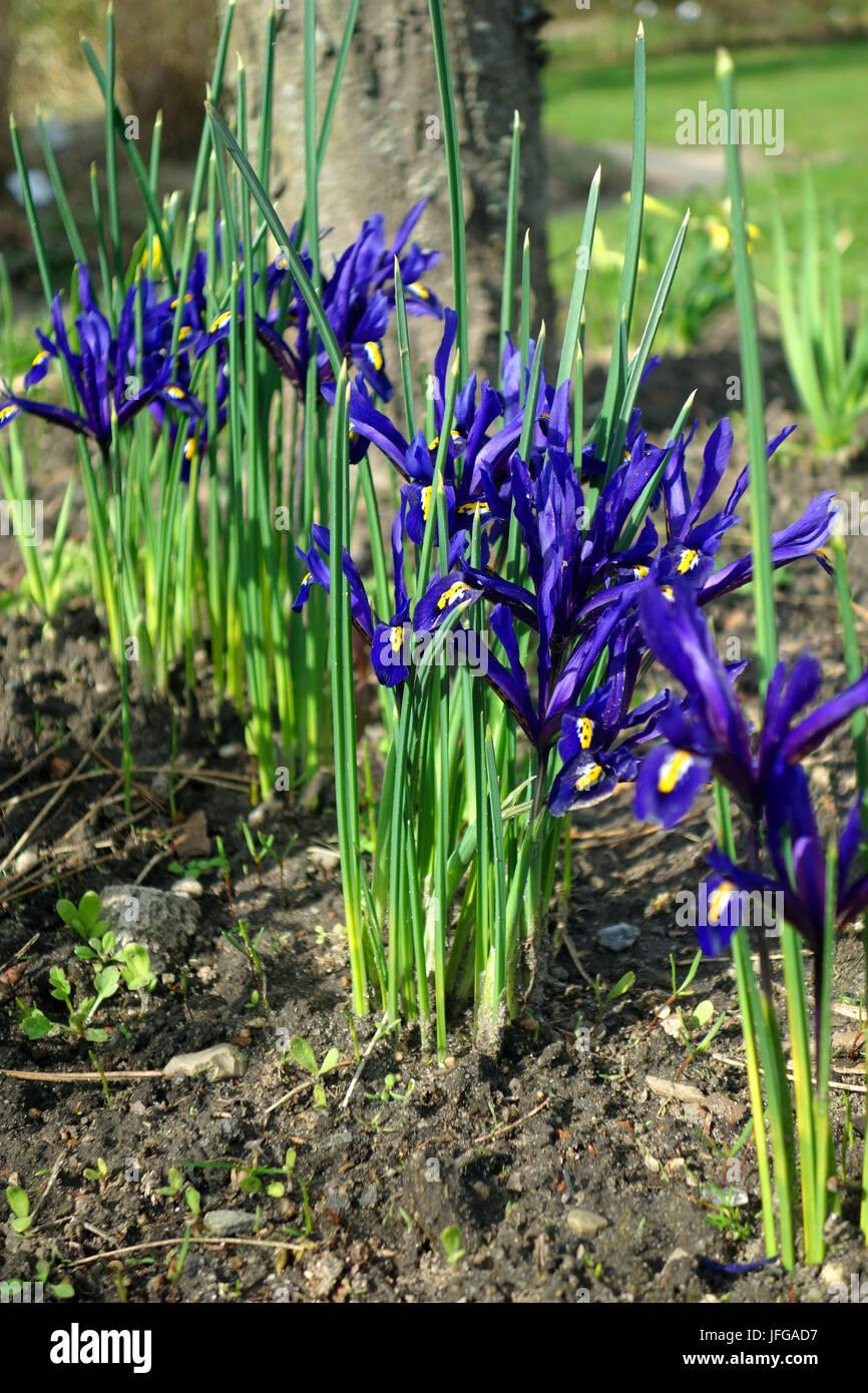 Iridaceae - Stock Image