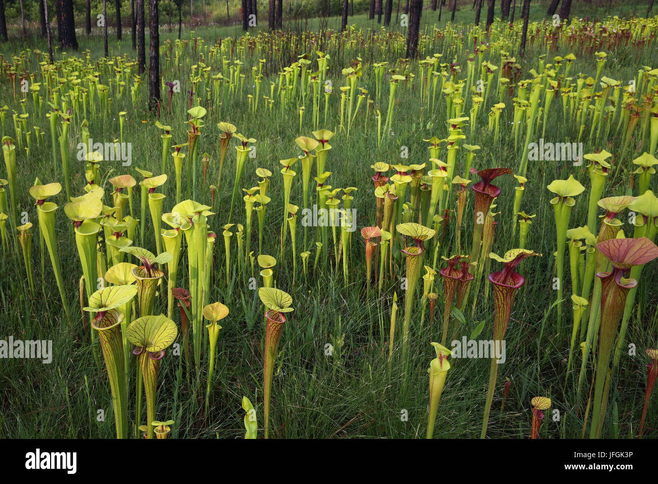 Variety of Pitcher Plants (Sarracenia) growing in hillside seepage bog, SE USA - Stock Image