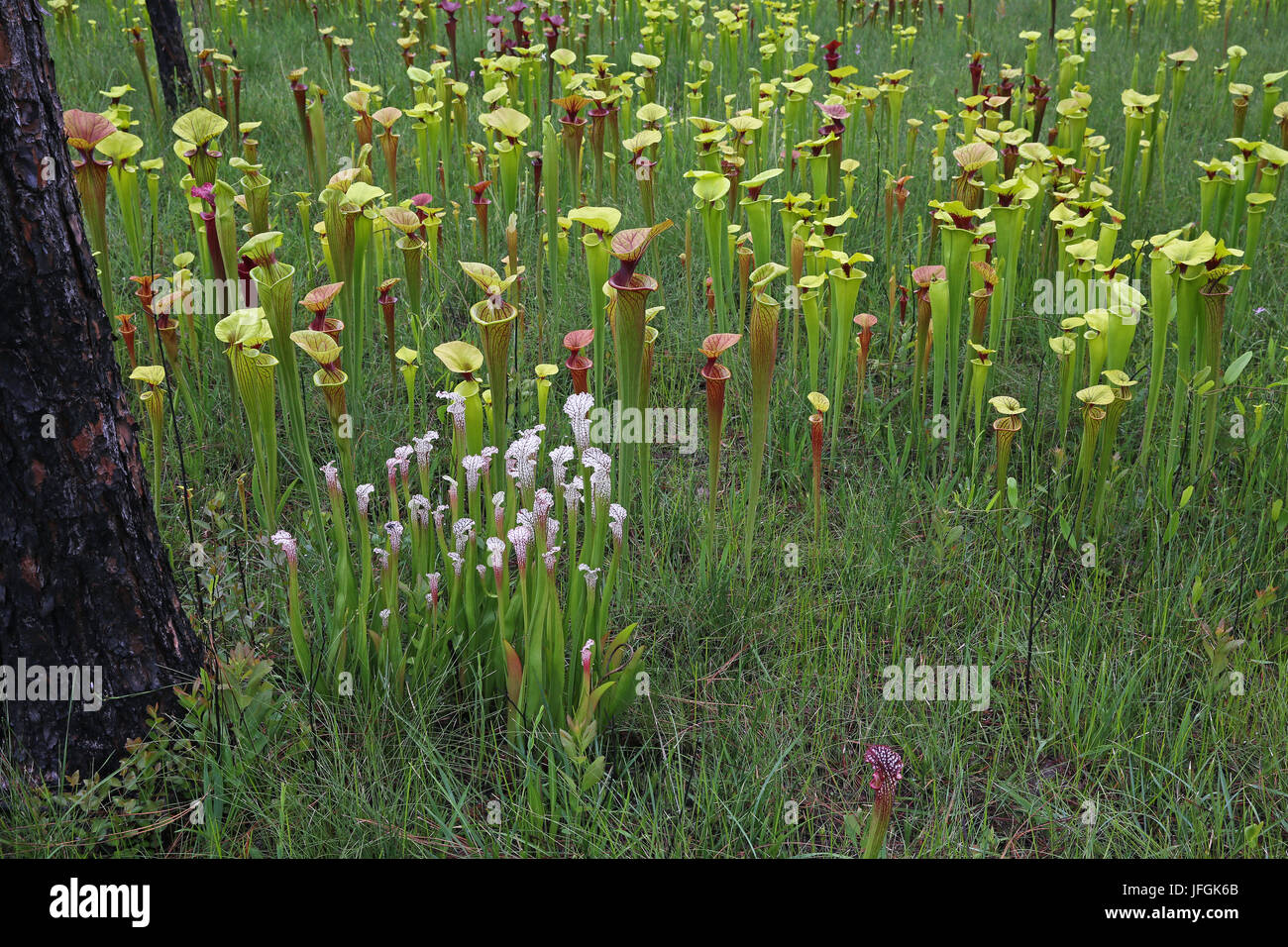 Pitcher Plants (Sarracenia) growing in hillside seepage bog, SE USA - Stock Image