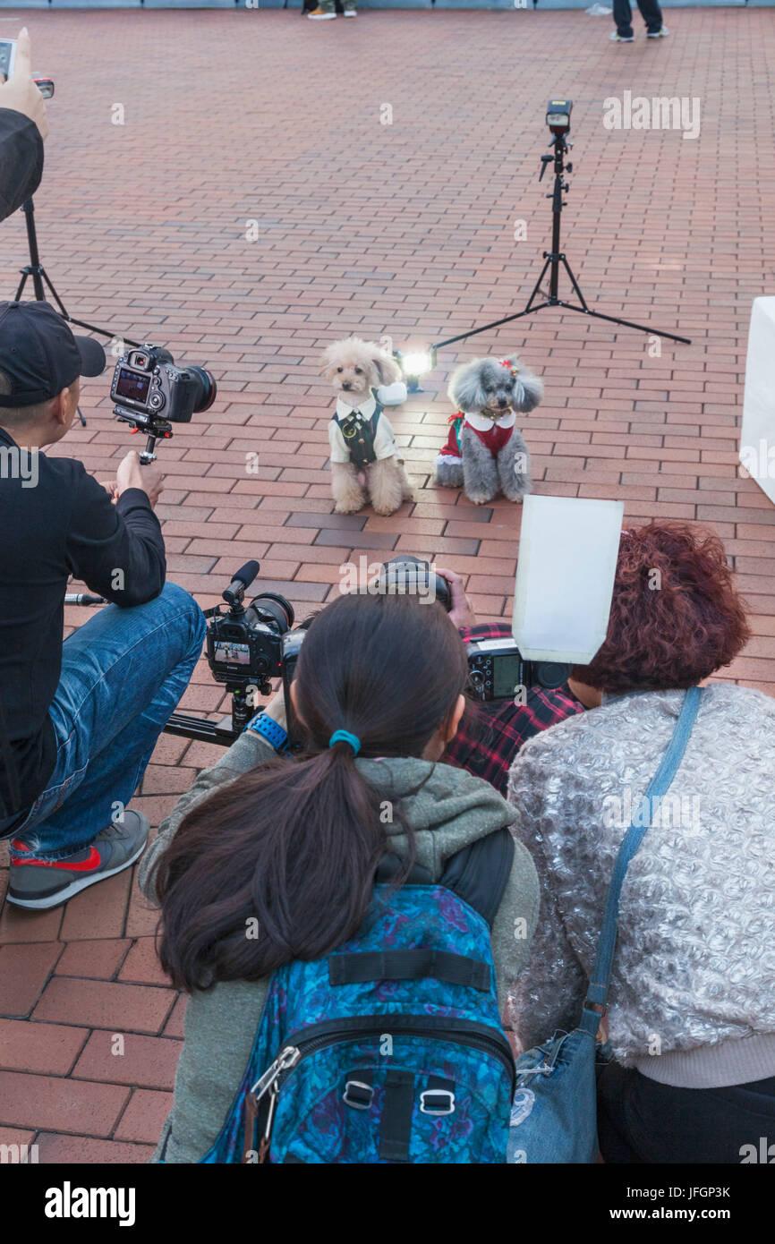 China, Hong Kong, Photoshoot of Poodles - Stock Image
