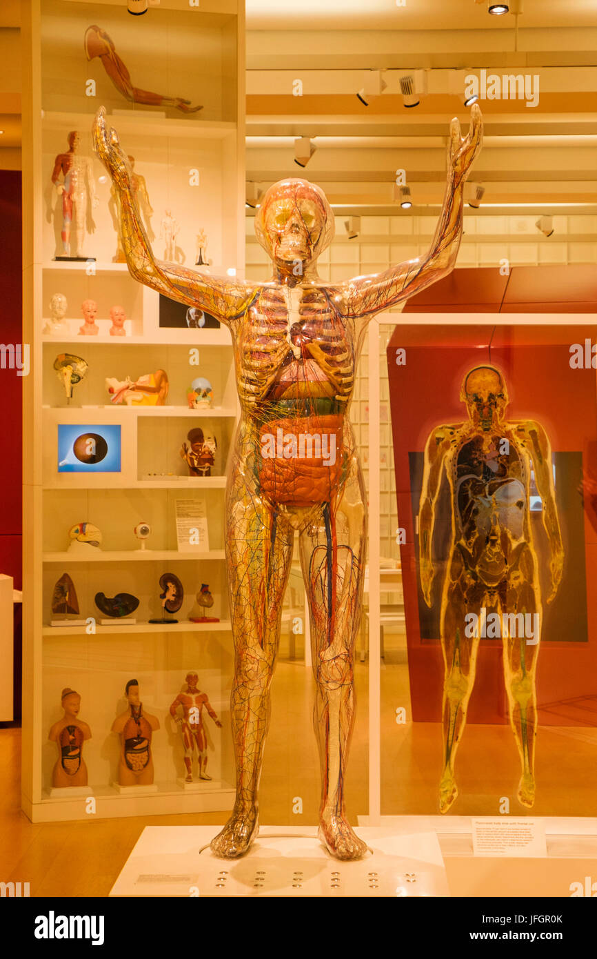 England, London, The Wellcome Collection, Educational Sculpture of Transparent Woman - Stock Image