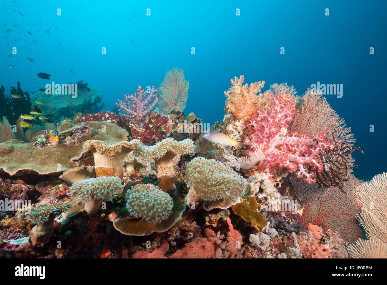 Very varied coral reef, Florida Islands, the Solomon Islands - Stock Image