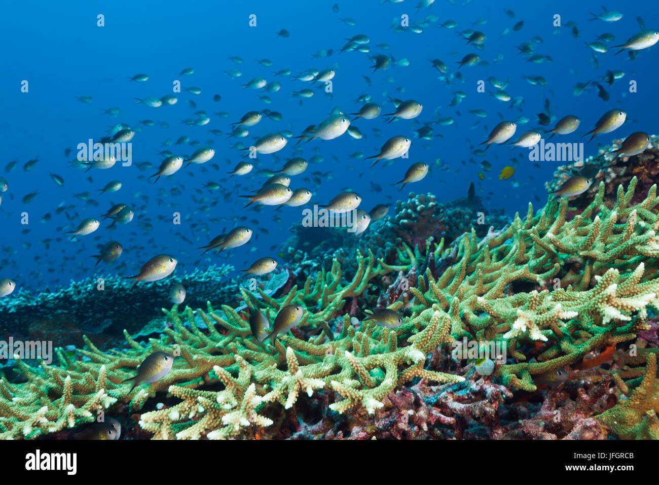 Chromis reef perches, Chromis amoinensis, Florida Islands, the Solomon Islands - Stock Image
