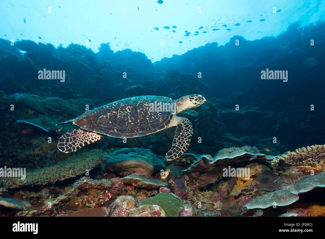 tortoiseshell turtle, Eretmochelys imbricata, Marovo lagoon, the Solomon Islands - Stock Image