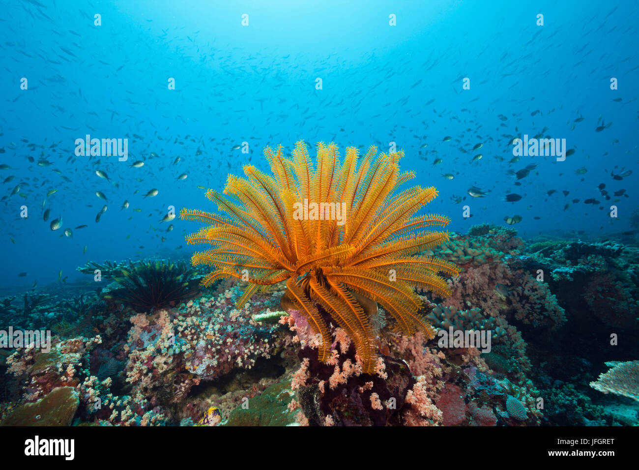 Coral reef with feather star, Florida Islands, the Solomon Islands - Stock Image