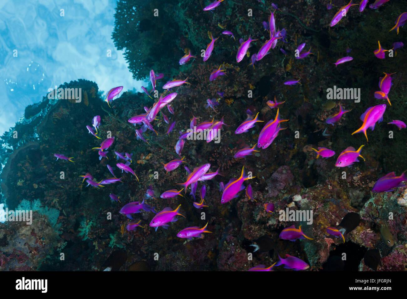 Tuka-flag perches, Pseudanthias cf tuka, Marovo lagoon, the Solomon Islands - Stock Image
