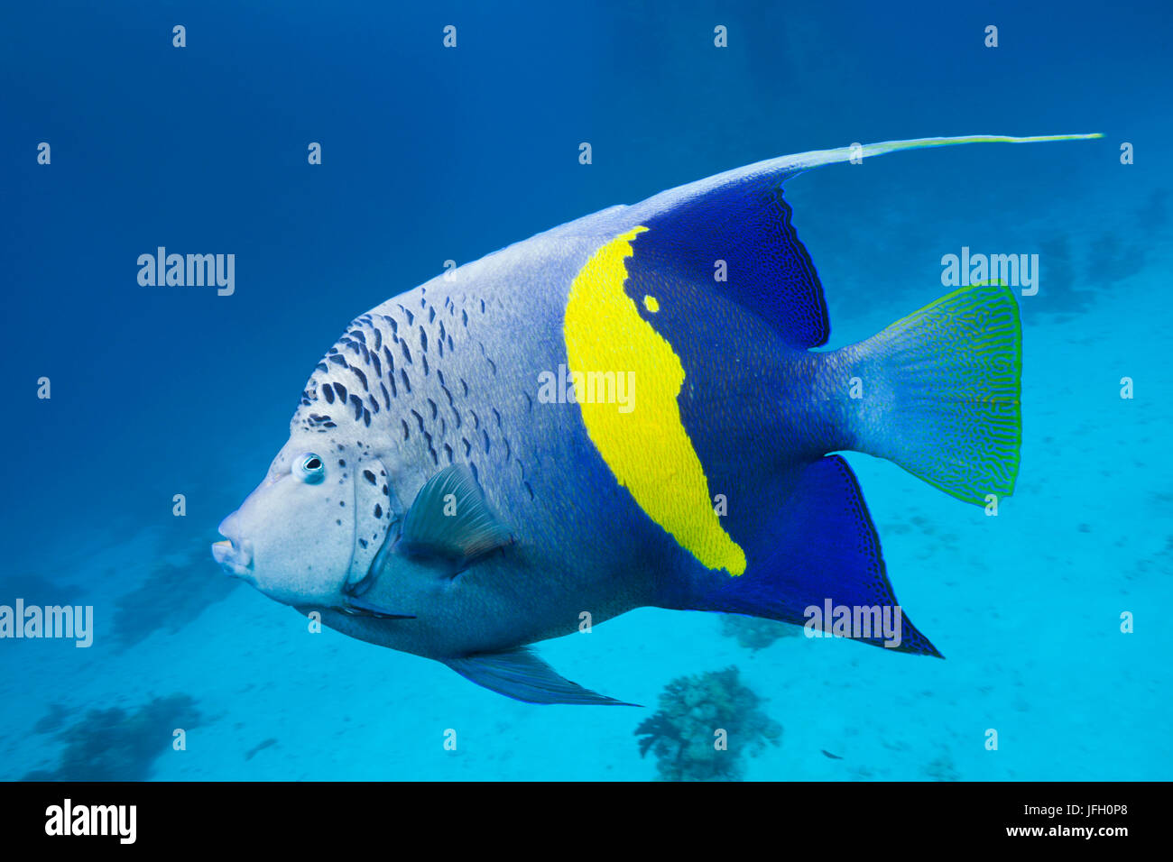 Arabian imperial fish, Pomacanthus maculosus, the Red Sea, Dahab, Egypt - Stock Image