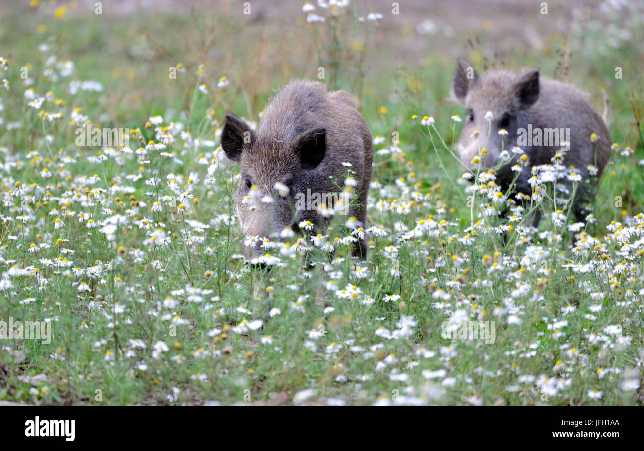 Meadow, wild boars, making a mess, Sus scrofa, - Stock Image