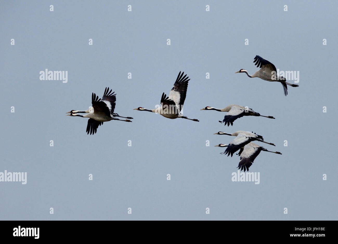 Grey cranes, slack slack, fly, - Stock Image