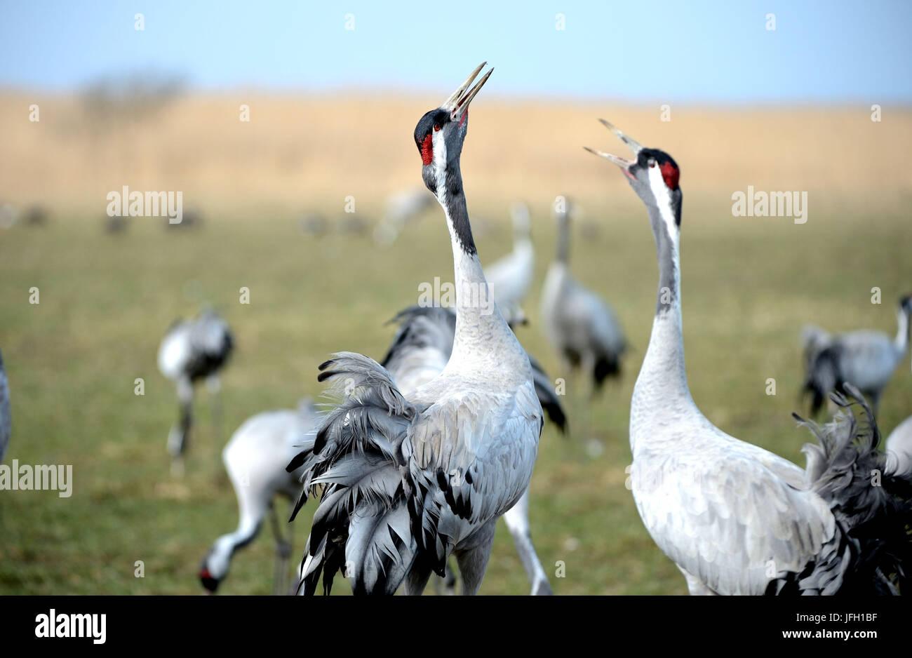 Meadow, grey cranes, slack slack, - Stock Image
