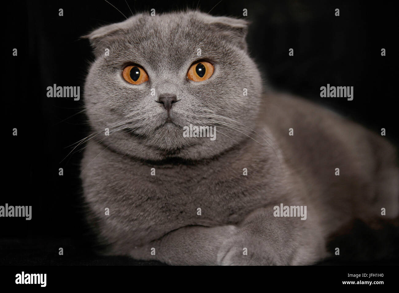 british shorthair, floppy ears, young animal - Stock Image